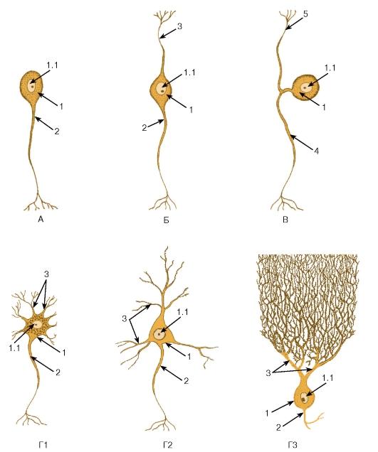 нейронов (схема):