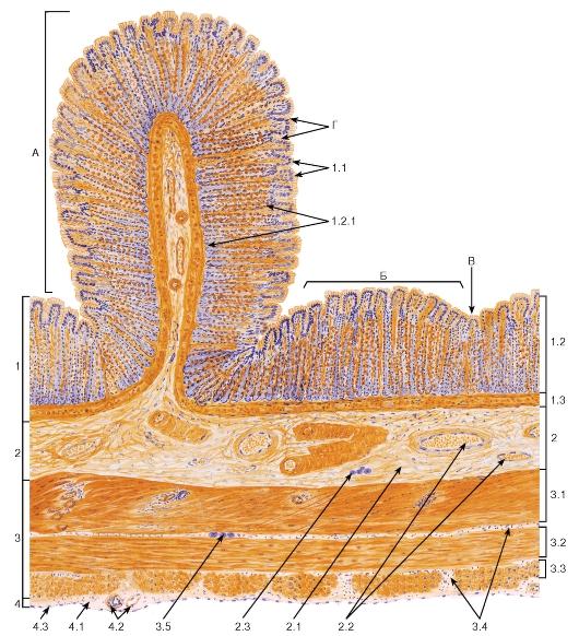 Оболочка кишечника мышечная