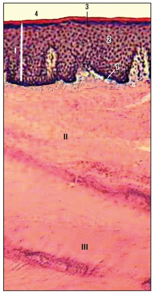 Каемка щеточная эпителиальной ткани фото