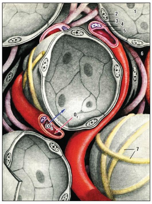 Альвеолоцит фото