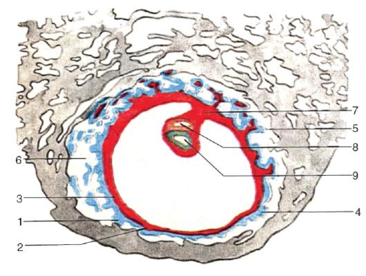 зародыша человека (по А.А.