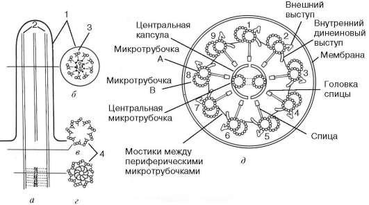Общее строение реснички: