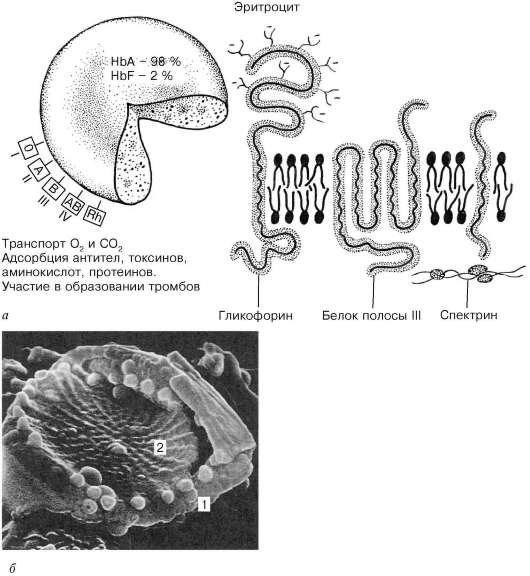 схема строения эритроцита