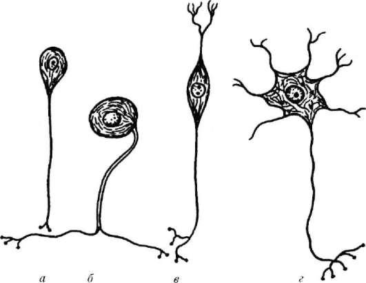 Виды нервных клеток (по Т. Н.