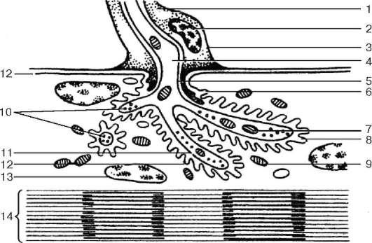нейро-мышечного соединения