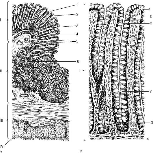 Строение толстой кишки.  Ободочная...  Для рельефа внутренней поверхности ободочной кишки характерно наличие большого...
