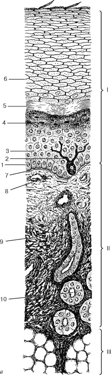 Кератиноцит фото