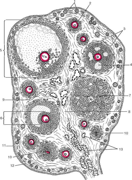 Строение яичника (по Ю. И.
