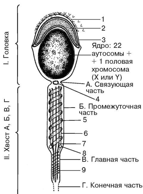 Строение мембраны сперматозоидов