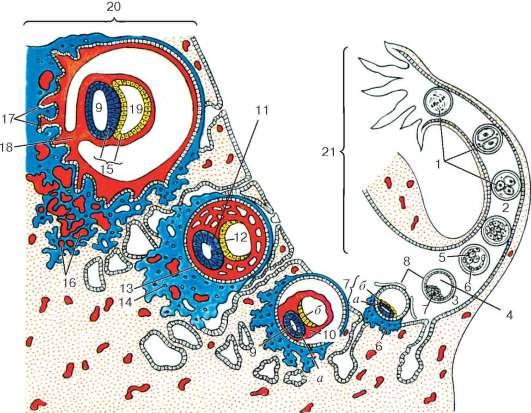 7 - зародышевый узелок: а