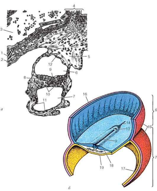 Дифференцировка зародышевых