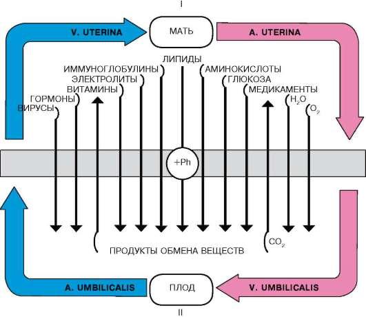 об иннервации плаценты,