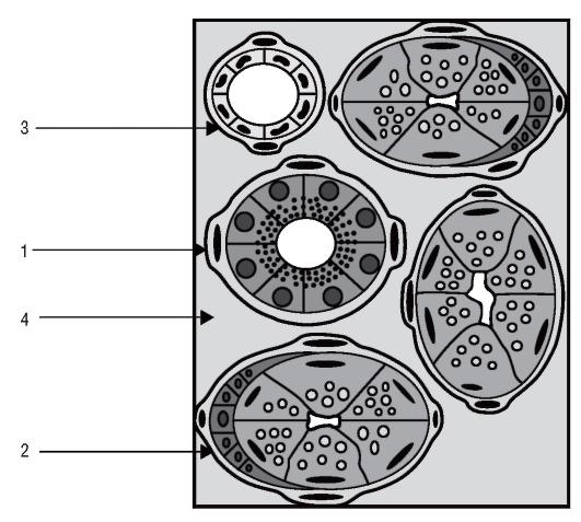 Схема строения подъязычной
