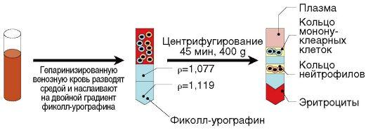 Рис. 2.2. Выделение мононуклеарных клеток в