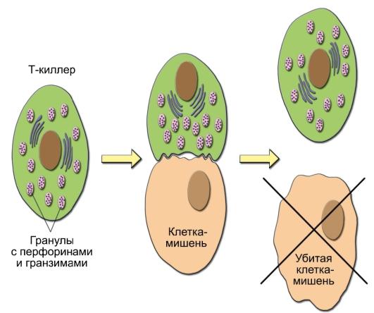 B-лимфоциты отвечают за