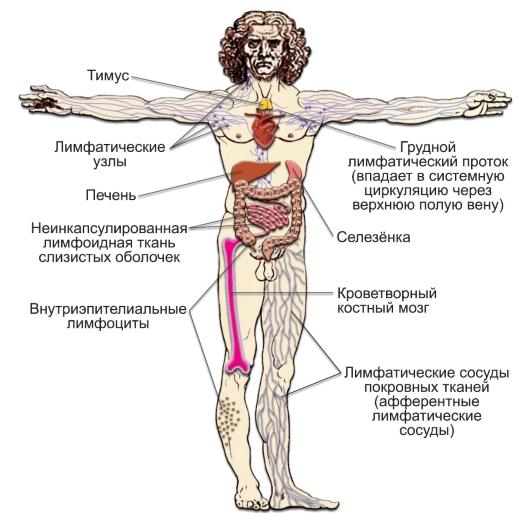 Компоненты иммунной системы