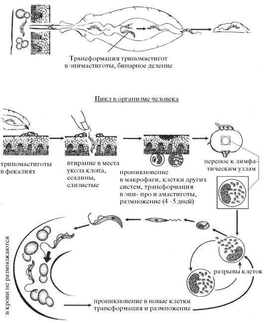 Жизненный цикл Tripanosoma
