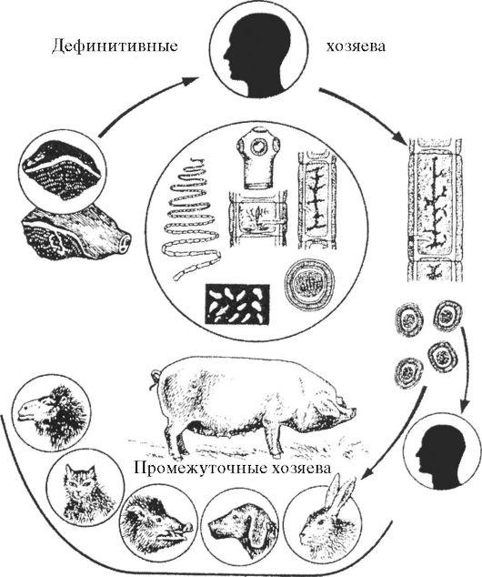 Цикл развития T.solium