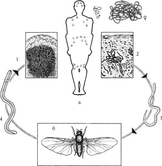 Цикл развития онхоцерков. а