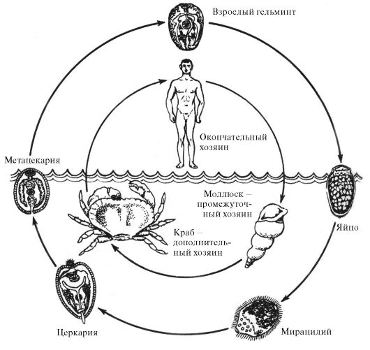 Цикл развития P.westermani