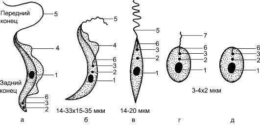 паразиты в организме человека фото лямблии