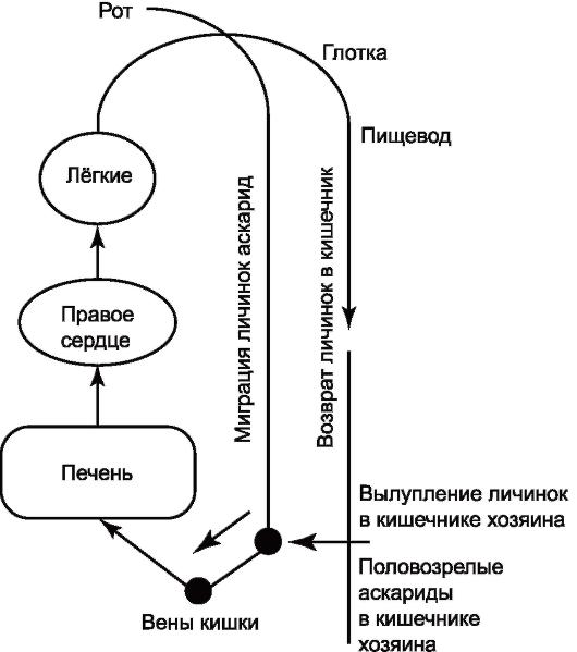Жизненный цикл аскариды.