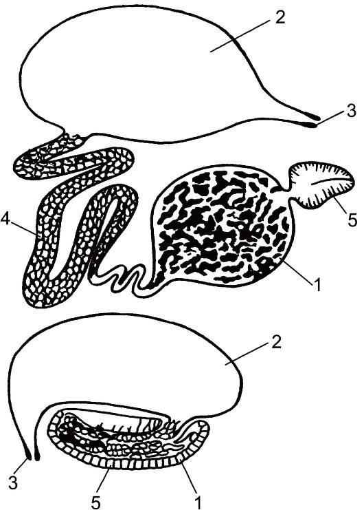 Органы выделения речного рака.
