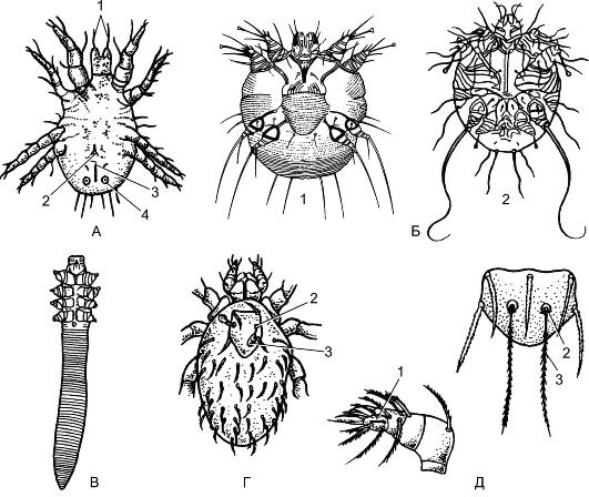 среди клещей постоянными паразитами человека являются