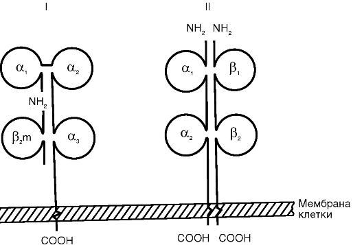 Схема строения антигенов