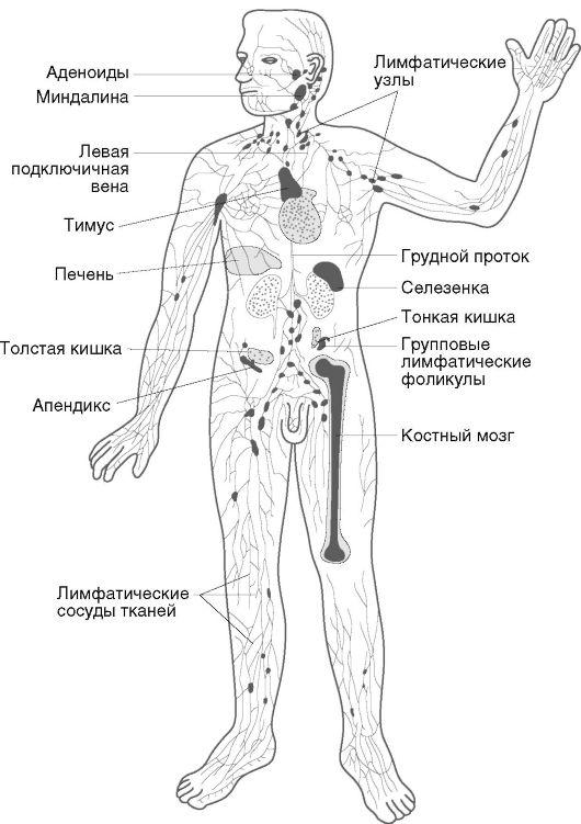иммунной системы человека