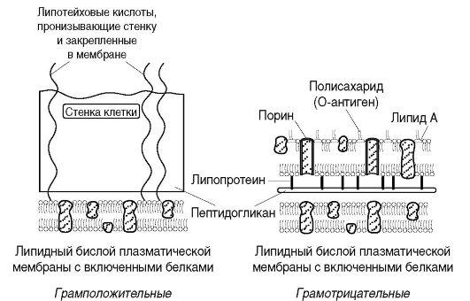 Схема архитектоники клеточной