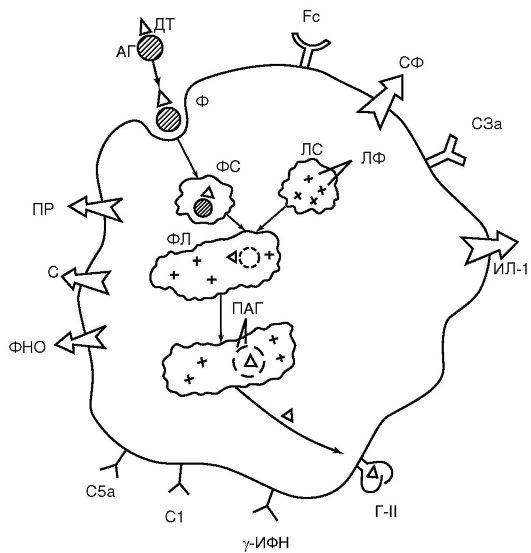 (схема): АГ - антиген;
