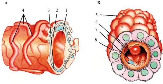 Строение гематоэнцефалического