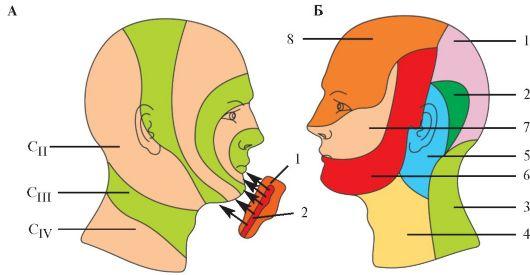 Сегментарная иннервация кожи