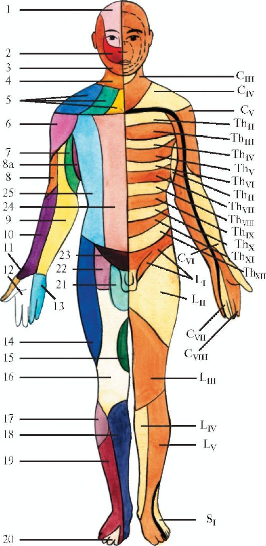 спинного мозга (схема).