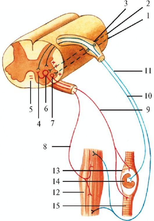 Сухожильный рефлекс (схема).