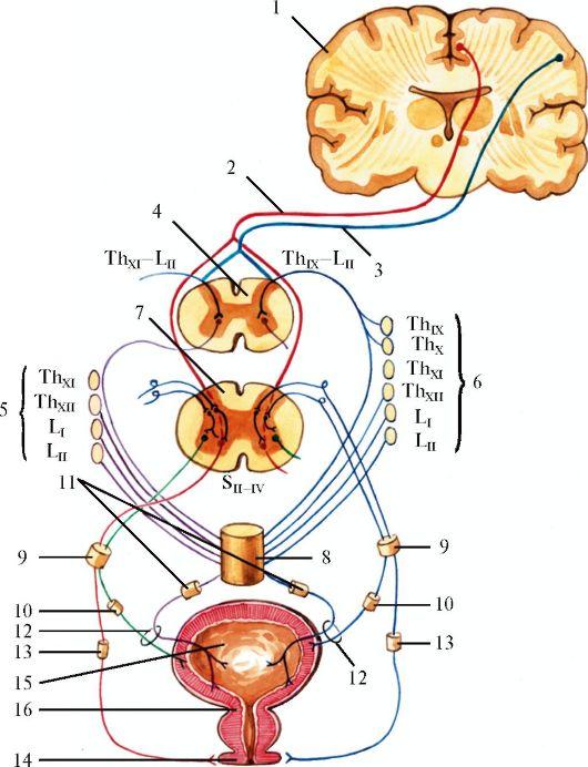 периферическая иннервация