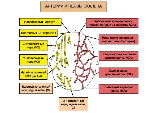 Схема расположения артерий и
