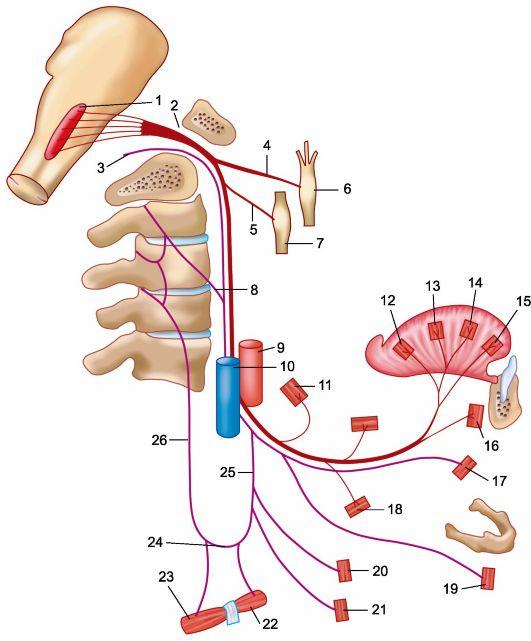Нерв подъязычный