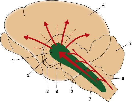 ствола мозга имеют связи с