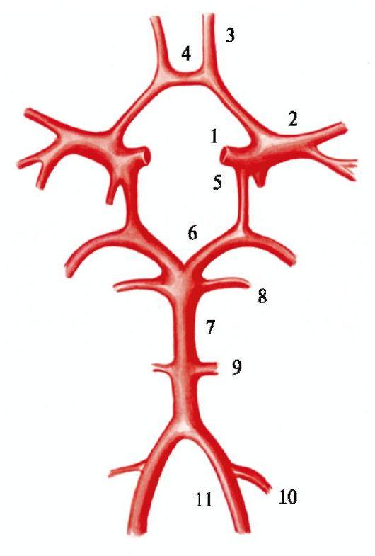 Сосуды основания мозга (схема)
