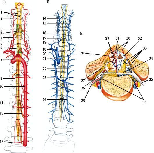 Схема кровоснабжения спинного