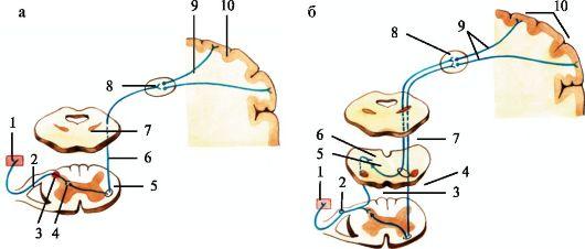 Проводящие пути мышечно-суставного чувства ярославль операции на плечевом суставе