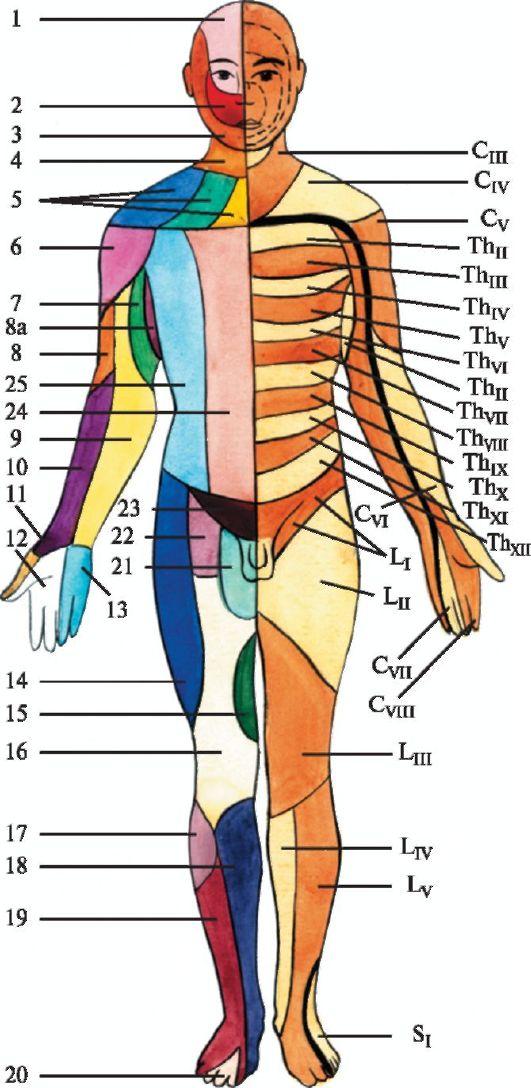 сегментами спинного мозга