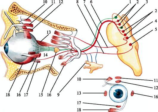 III нерв - глазодвигательный
