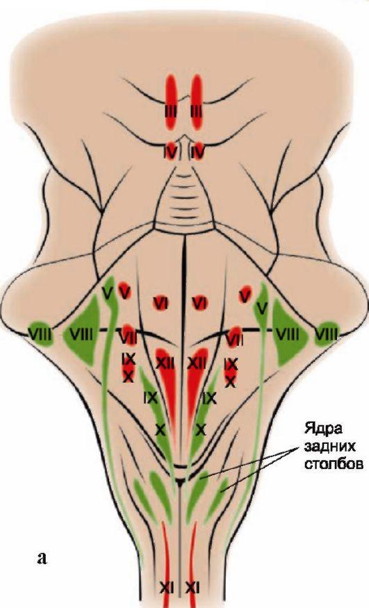 Расположение ядер черепных