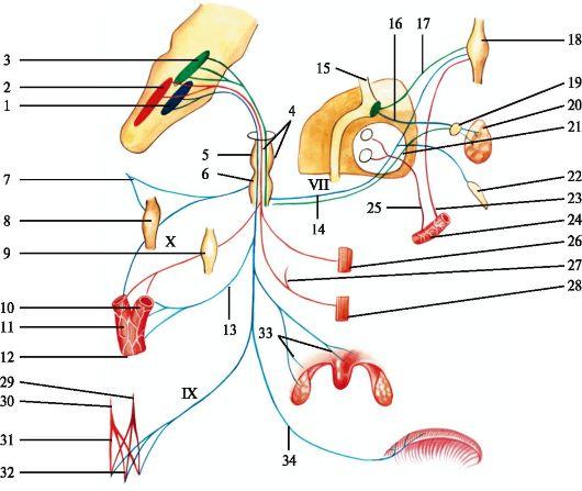 Языкоглоточный нерв: