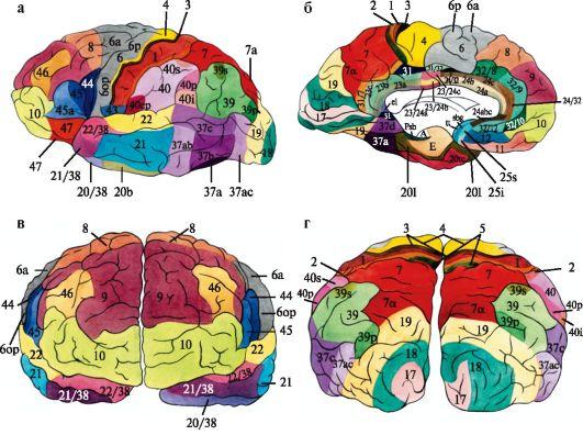 полей коры большого мозга.