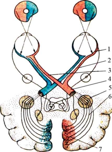 Схема строения зрительного
