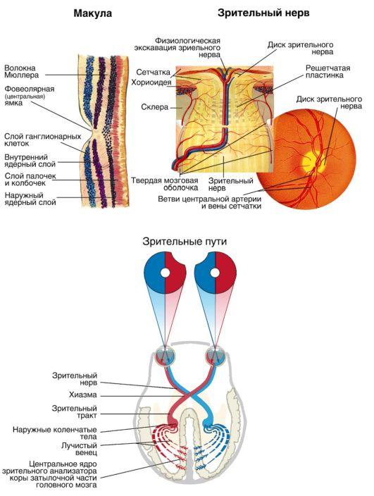 Схема нервов сетчатки
